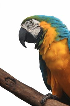 Free Yellow Parrot Stock Image - 15880151