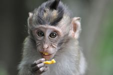 Free Close Up Of A Monkey In Bali Ubud Forest Stock Image - 15880871