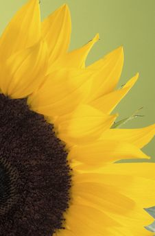 Free Sunflower Stock Photos - 15881463