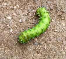 Green Blue-spotted Caterpillar Royalty Free Stock Photo