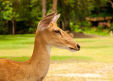 Free Deer Royalty Free Stock Photo - 15881535