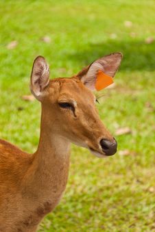 Free Deer Royalty Free Stock Photos - 15881548