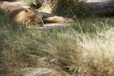 Free Sleeping Lion Royalty Free Stock Photos - 15881738