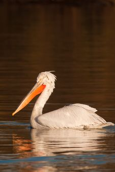 Free Dalmatian Pelican Stock Photography - 15882702