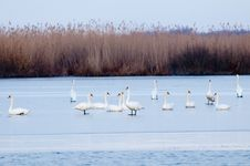 Swans On Ice Stock Images