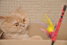 Free Close Up Persian Cat Royalty Free Stock Photo - 15883175