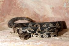 Free Rock Viper Royalty Free Stock Images - 15883719