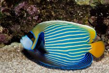 Free Emperor Angelfish Stock Photography - 15883862