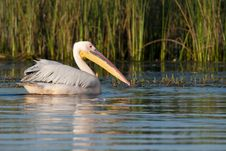 Free Great White Pelican On Water Stock Photos - 15884123
