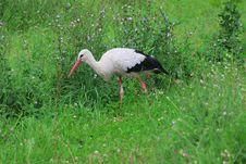 Free White Stork Royalty Free Stock Photos - 15884318