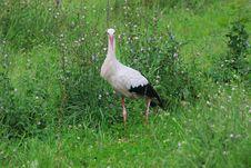 Free White Stork Royalty Free Stock Image - 15884336