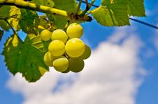Free Grape Stock Images - 15884464