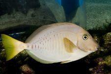 Free Razor Surgeonfish Royalty Free Stock Image - 15884616