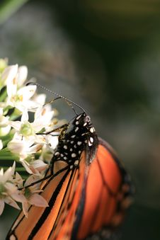 Free Monarch Butterfly Royalty Free Stock Photography - 15884737