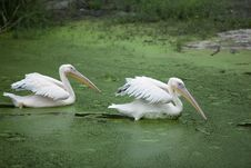 Free Pelicans Floating Stock Image - 15885111