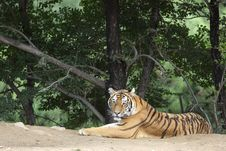 Free Siberian Tiger Stock Photography - 15885882