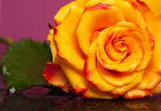 Free Yellow Rose Stock Photos - 15886483