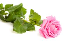 Free Pink Rose Isolated Stock Photo - 15886500