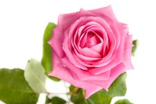 Free Pink Rose Isolated Royalty Free Stock Images - 15886519