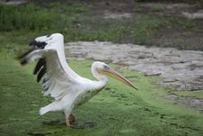 Free Pelican Spreading Wings Royalty Free Stock Photo - 15887165