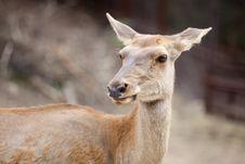 Free Red Deer Stock Photos - 15887193