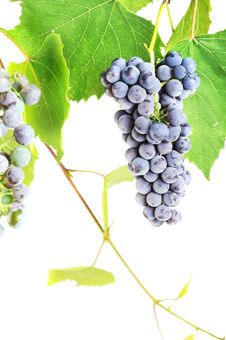 Free Cluster Fresh Grape Royalty Free Stock Images - 15888129