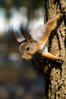 Free Squirrel Stock Photos - 15888303