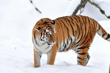 Free Siberian Tiger Onsnow Stock Photography - 15888642
