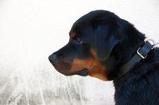 Free Rottweiler Dog Royalty Free Stock Image - 15889556