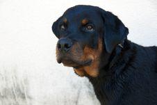 Free Rottweiler Dog Stock Photos - 15889583