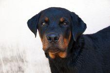 Free Rottweiler Dog Stock Photography - 15889592