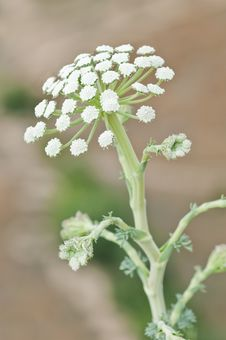 Free Heracleum Stock Photos - 15890853