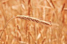 Free Wheat Stock Photography - 15890932