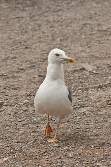 Free Seagull Stock Photography - 15891102