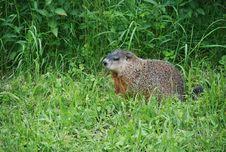 Free Marmot Stock Image - 15891111