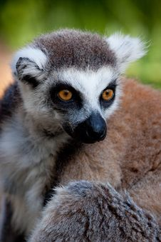 Free Staring Lemur Royalty Free Stock Photography - 15891267