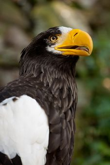 Free Steller S Sea Eagle Royalty Free Stock Image - 15891336