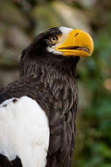 Steller S Sea Eagle Royalty Free Stock Image