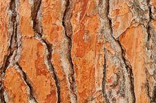 Free Pine Stock Photo - 15891360