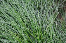 Free Closeup Of Green Grass Blades Covered With Dew Stock Image - 15891451