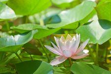 Free Lily Stock Photo - 15891700