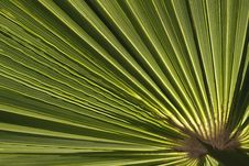 Cotton Palm, Arizona Fan Palm. Washingtonia Filife Stock Photo