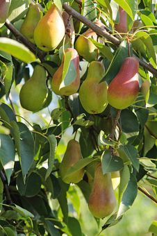 Free Pears Royalty Free Stock Photos - 15892188
