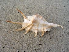 Free Large Shell On The Beach Stock Image - 15892421