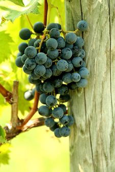 Free A Bunch Of Grapes Royalty Free Stock Images - 15892719