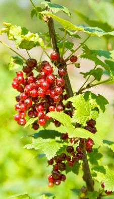 Free Red Currant Stock Photography - 15892772