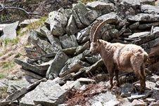 Free Capra Ibex - Italian Alps Royalty Free Stock Photo - 15893145