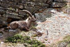 Free Capra Ibex - Italian Alps Royalty Free Stock Photography - 15893147
