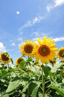 Free Yellow Sunflower Royalty Free Stock Images - 15893469