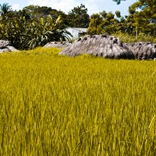 Rice Straw Stock Images